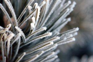 Frozen Ice on pine. - Ely Greenhut