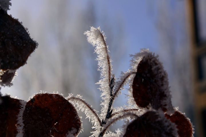 Ice in twigs - Ely Greenhut