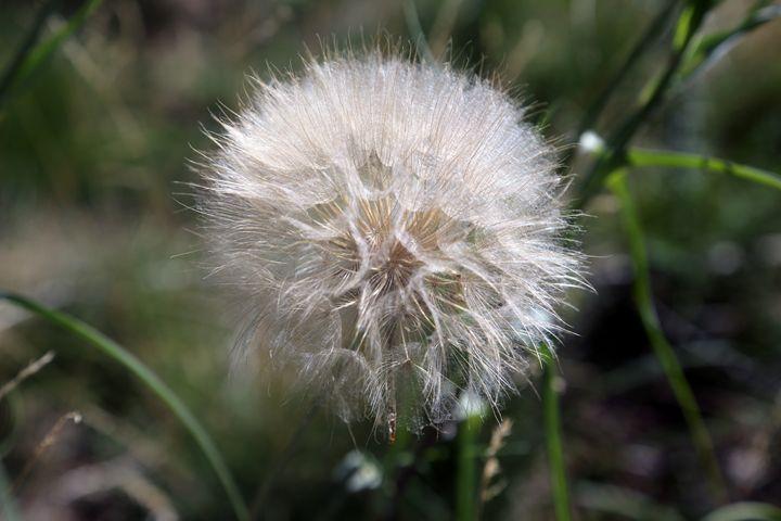 Dandelion flower - Ely Greenhut