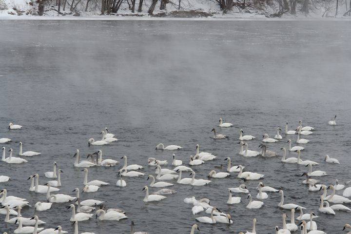 Trumpeter Swans on the Mississippi - Ely Greenhut