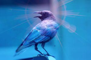crow - Yankee Dervish