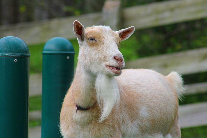 goat - Yankee Dervish