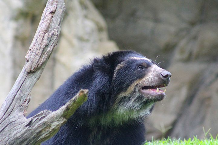 asian sun bears - Yankee Dervish