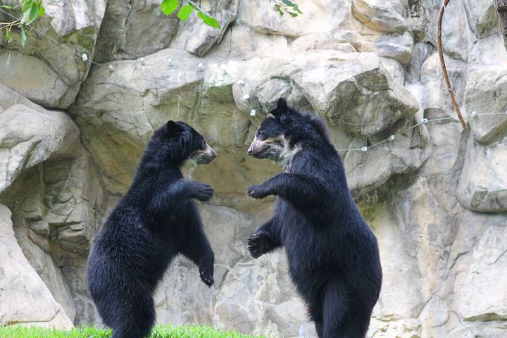 Boxing bears - Yankee Dervish