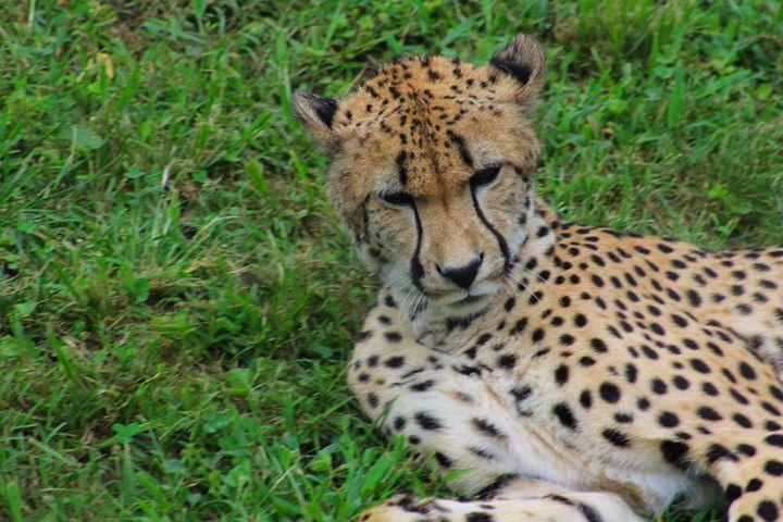 resting Cheetah - Yankee Dervish