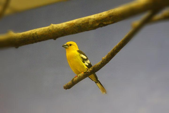 Canary - Yankee Dervish