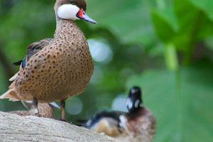 wood duck - Yankee Dervish