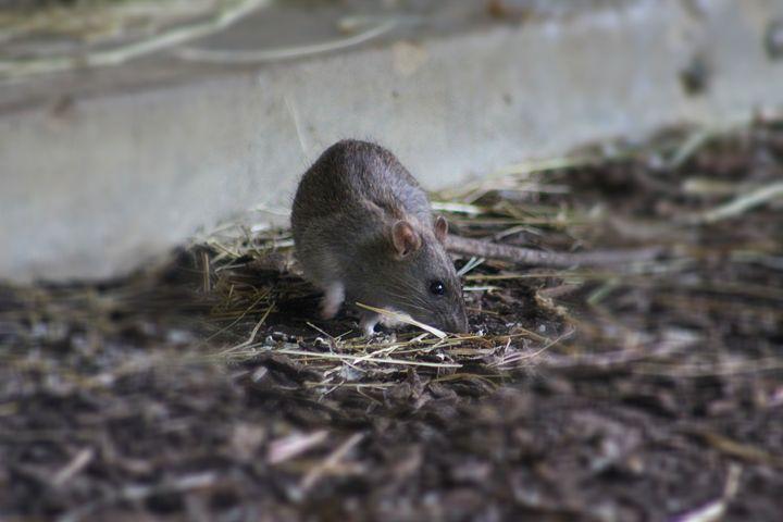 rat - Yankee Dervish
