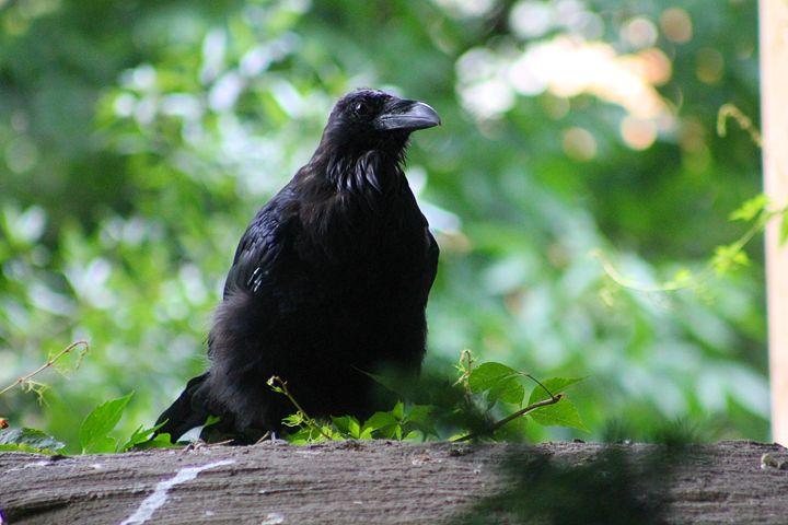 raven - Yankee Dervish