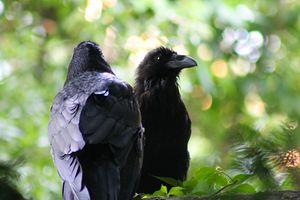 Ravens - Yankee Dervish