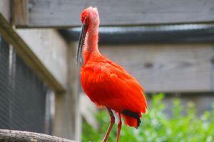 scarlet ibis - Yankee Dervish