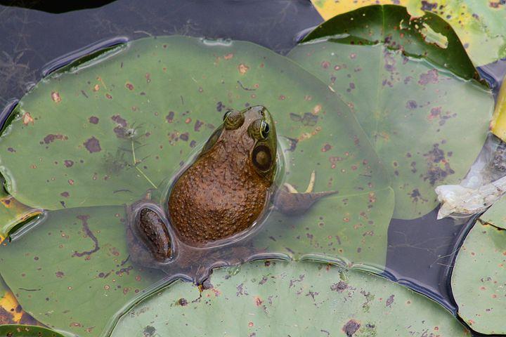 fat frog - Yankee Dervish
