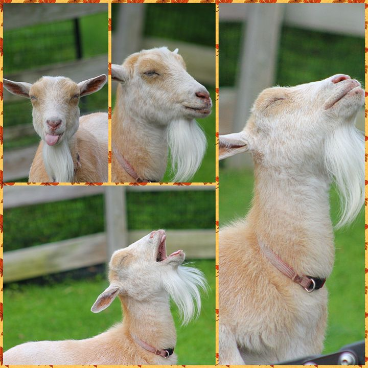 goats - Yankee Dervish