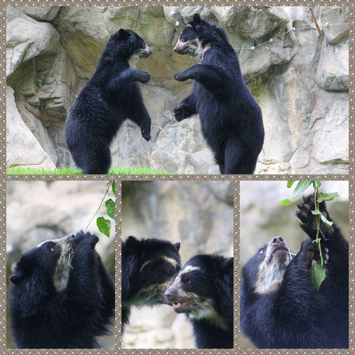 bears - Yankee Dervish