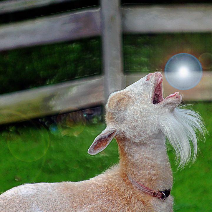 spirit Goat - Yankee Dervish