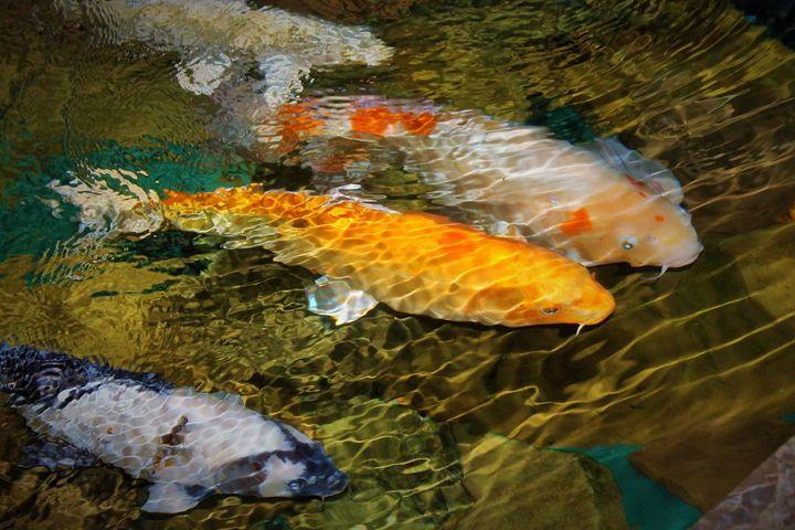 goldfish - Yankee Dervish