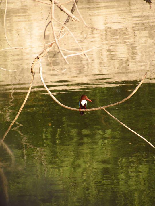 white-throat Kingfisher - Sufiyana