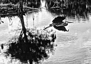 Black & White Bird in Flight