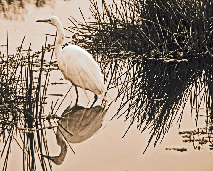 Egret in Sepia Tone - AllanE Photography