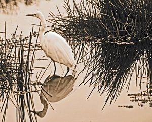 Egret in Sepia Tone