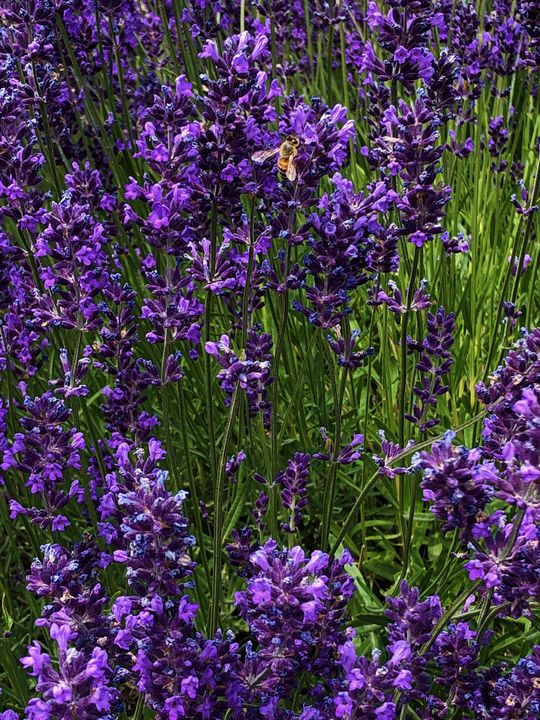 Bee in the Lavender - A.M. Stearns