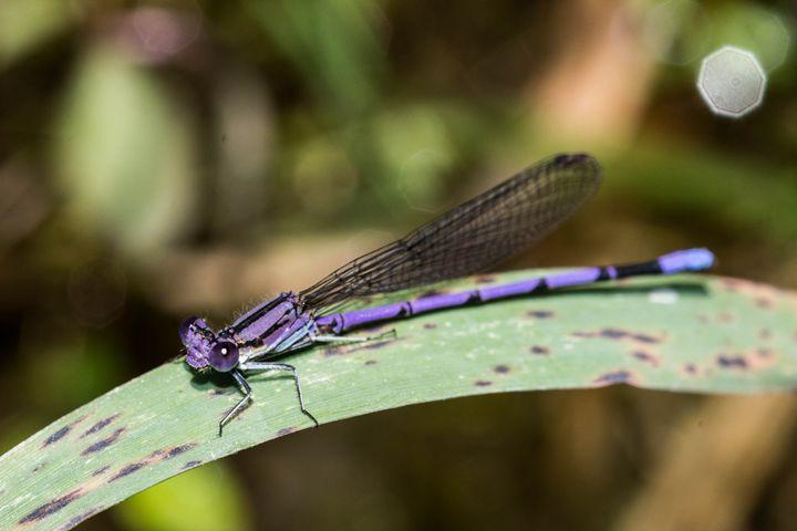 Violet Dancer - Leader Photography