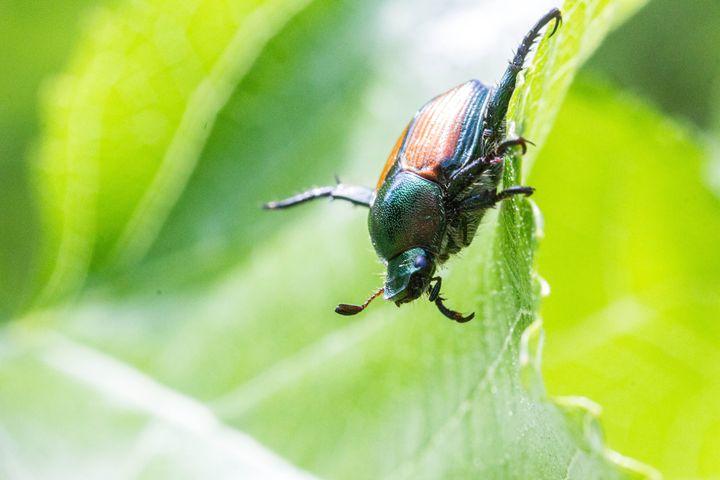 Japanese Beetle - Leader Photography