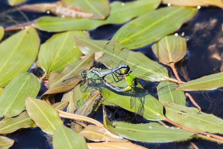 Mating Dragonflies - Leader Photography