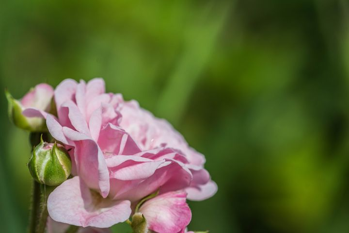 Pink Rose - Leader Photography
