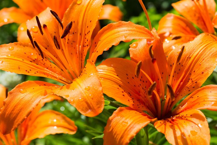 Orange Lilies - Leader Photography
