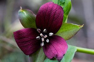 Purple Trillium - Leader Photography