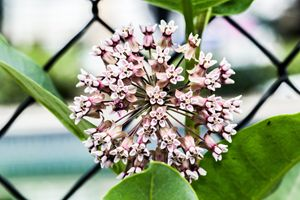 Milkweed - Leader Photography