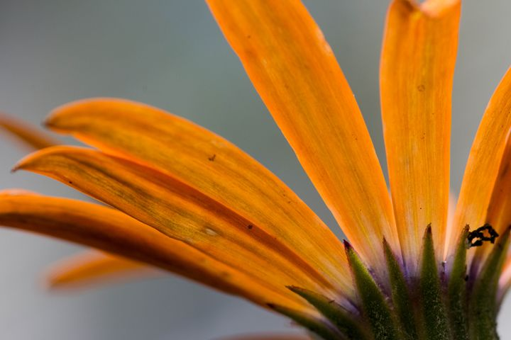 Orange African Daisy - Leader Photography