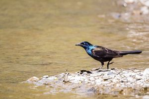 Grackle - Leader Photography