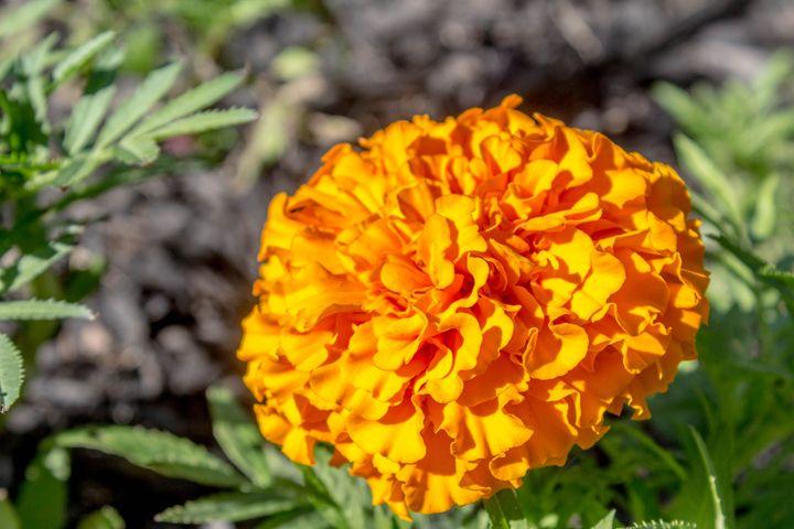 Orange Marigold - Leader Photography