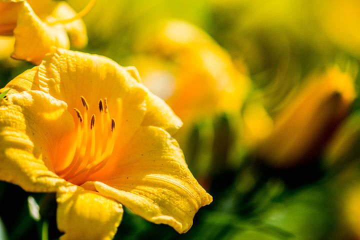 Yellow Flowers - Leader Photography