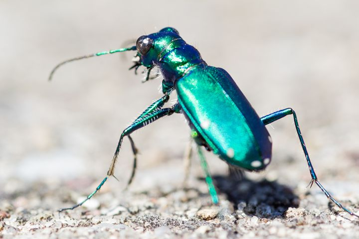 Six Spotted Tiger Beetle - Leader Photography