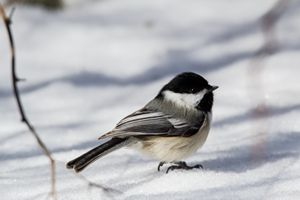 Black Capped Chickadee - Leader Photography