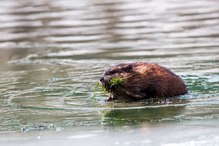 Muskrat - Leader Photography