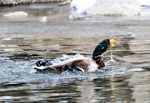 Mallard Duck - Leader Photography
