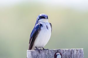 Tree Swallow - Leader Photography