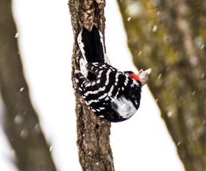 Downy Woodpecker - Leader Photography