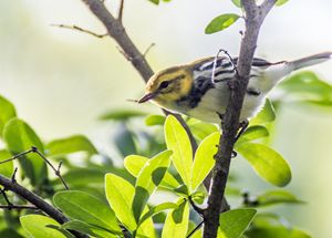 Black Throated Green Warbler - Leader Photography