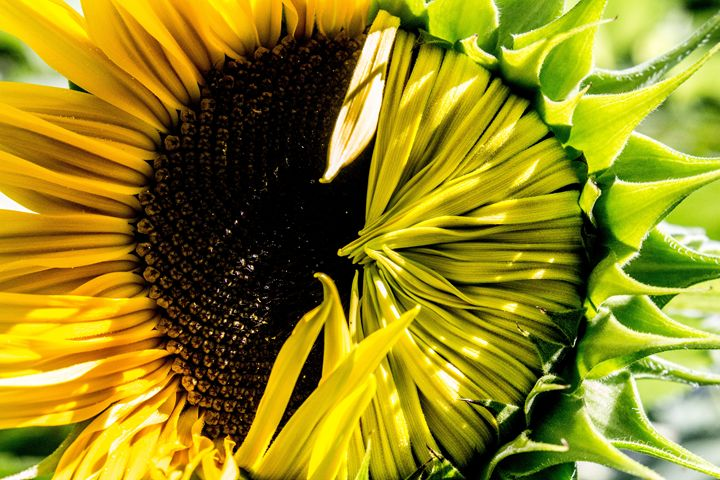 Sunflower - Leader Photography
