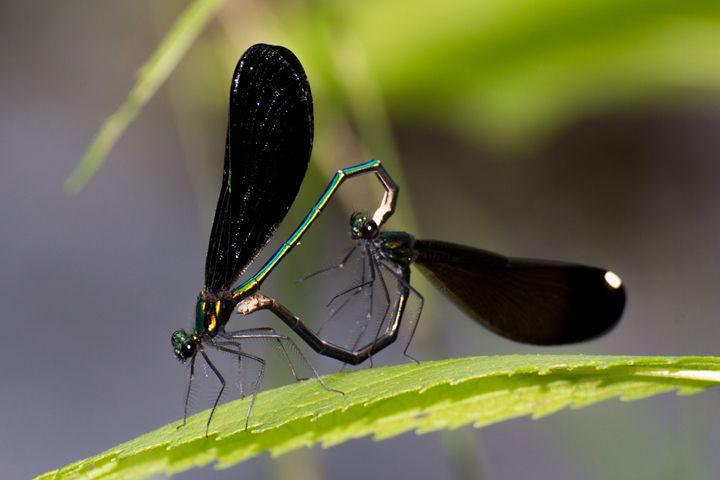 Ebony Jewelwing mating - Leader Photography