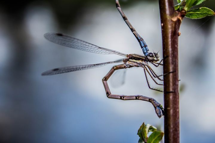 Damselfly Laying Eggs - Leader Photography