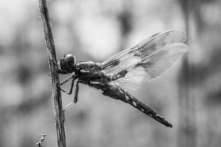 Dragonfly - Leader Photography