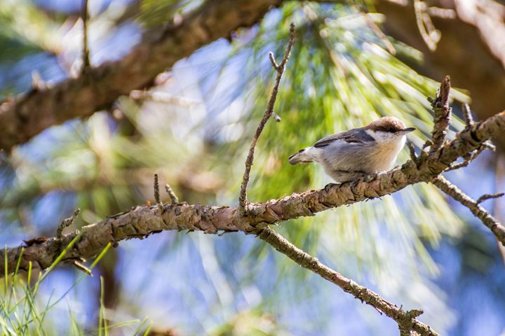 Brown Nuthatch - Leader Photography