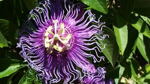 Purple Passion - Soulstirrer