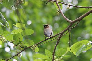 Cedar Waxwing Bird - Amy Bilodeau